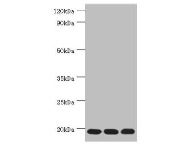 TXN2 Antibody