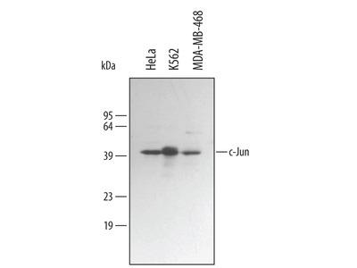 c-Jun Antibody