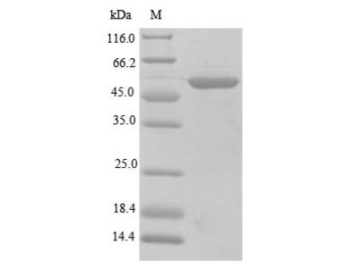 Recombinant Mouse S-arrestin(Sag) (E.coli)