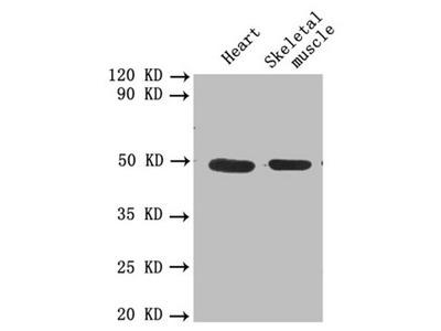 PLAU Antibody