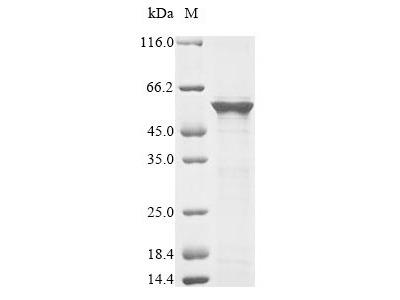 Recombinant Schizosaccharomyces pombe Mitochondrial protein import protein mas5(mas5) (E.coli)