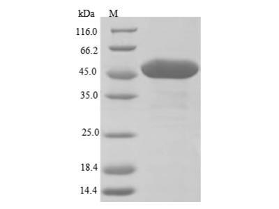 Recombinant Arabidopsis thaliana UDP-glycosyltransferase 89C1(UGT89C1) (E.coli)