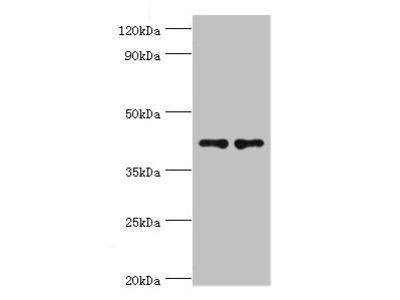 CD33 Antibody