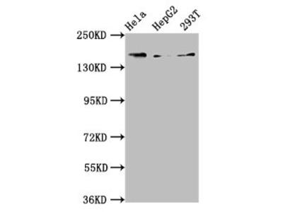 C4A Antibody