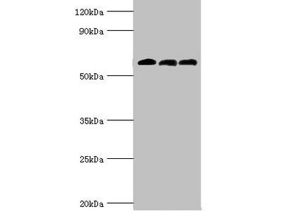 ABAT Antibody