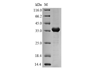 Recombinant Klebsiella pneumoniae Fimbrial subunit type 3(mrkA) (E.coli)