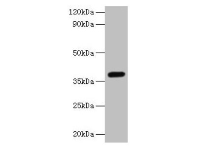 LRG1 Antibody