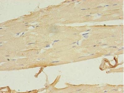 LRRN1 Antibody