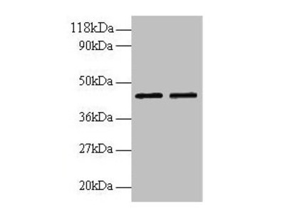 B4GALT3 Antibody