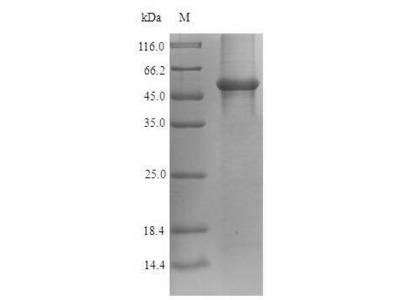 Recombinant Human Glyceraldehyde-3-phosphate dehydrogenase(GAPDH) (E.coli)