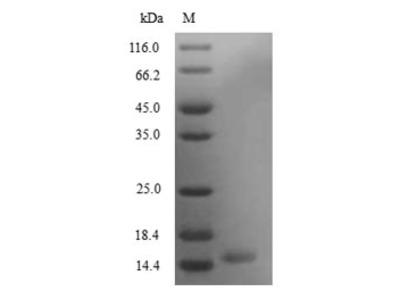 Recombinant Mouse Secretoglobin family 3A member 2(Scgb3a2)
