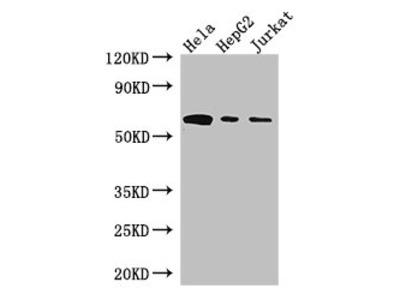 HPSE Antibody
