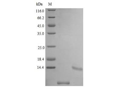 Recombinant Mouse Uteroglobin protein(Scgb1a1) (Active) (E.Coli)