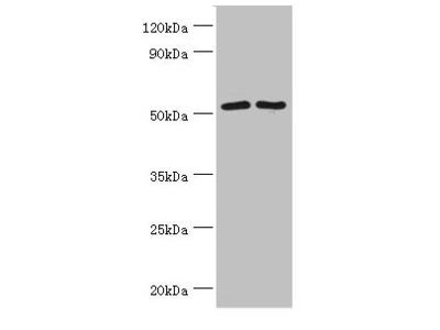 SUFU Antibody