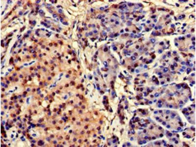 CEBPA Antibody