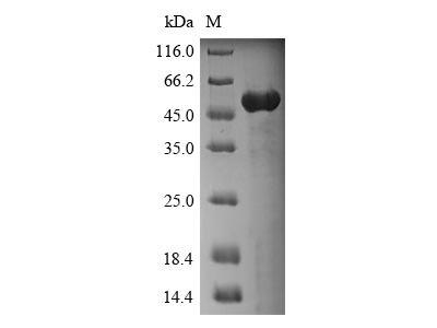 Recombinant Human Annexin A4(ANXA4) (E.coli)