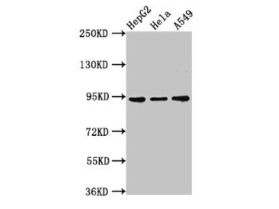 CHD1L Antibody