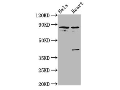 QSOX1 Antibody