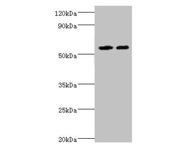 ALDH4A1 Antibody
