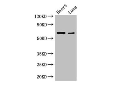 DCAF8 Antibody