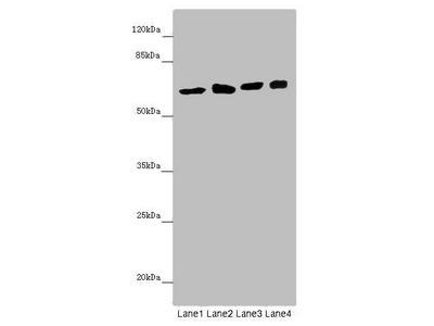 SOCS4 Antibody
