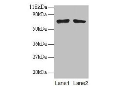 BMI1 Antibody