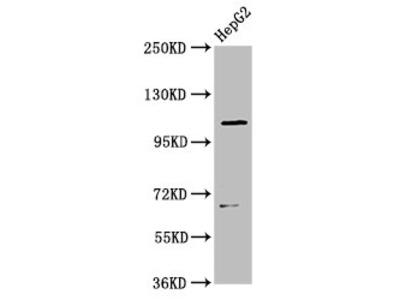 LRIG2 Antibody