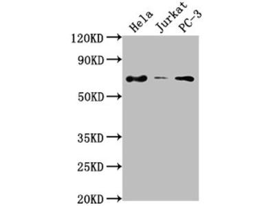 PRICKLE3 Antibody