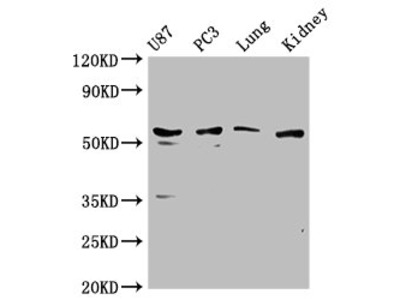 PPP5C Antibody