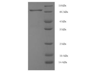 Recombinant Mouse Spermine oxidase(Smox)