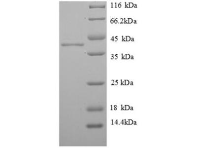 Recombinant Human Histone H2A.J(H2AFJ)