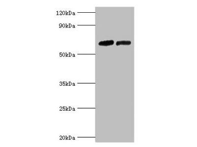 NR2C1 Antibody