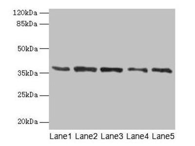 PLAUR Antibody
