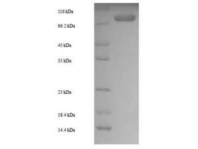 Recombinant Arabidopsis thaliana Putative protease Do-like 12, mitochondrial(DEGP12) (E.coli)