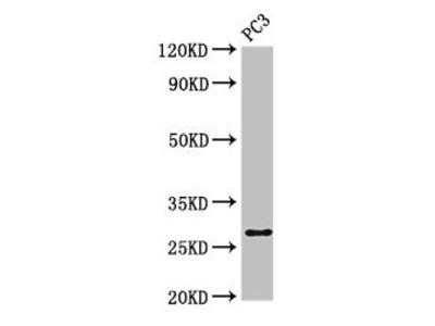 IL34 Antibody