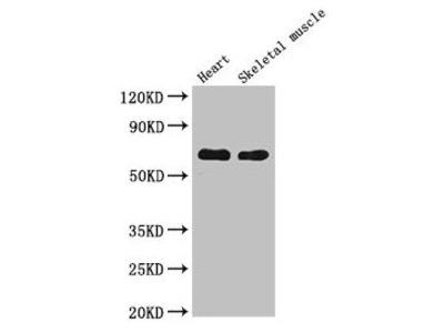CES1 Antibody