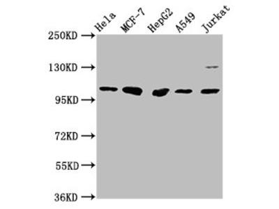 GANC Antibody