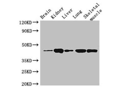 P2RX4 Antibody