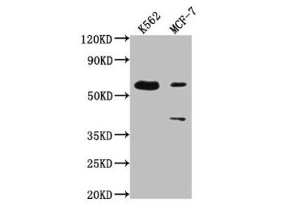 PTBP3 Antibody