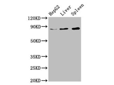 NSUN2 Antibody