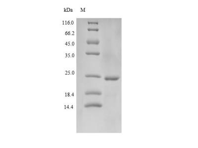 Recombinant Human Cathelicidin antimicrobial peptide(CAMP) (E.coli)