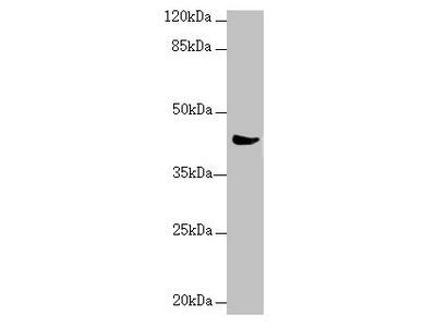 MRPS22 Antibody