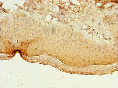 LILRA4 Antibody