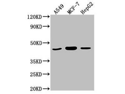 MAPK14 Antibody