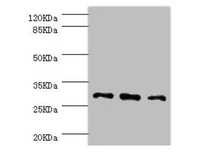 NNMT Antibody