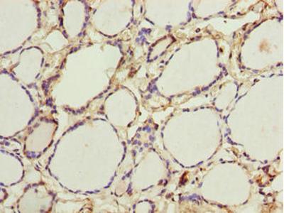 PADI3 Antibody