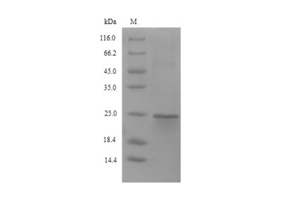 Recombinant Mouse Stromal cell-derived factor 2-like protein 1(Sdf2l1)