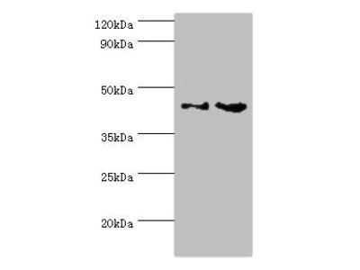 CHI3L2 Antibody