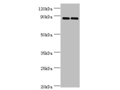 SMYD4 Antibody