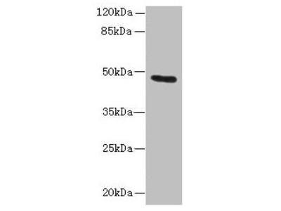 KRT33B Antibody